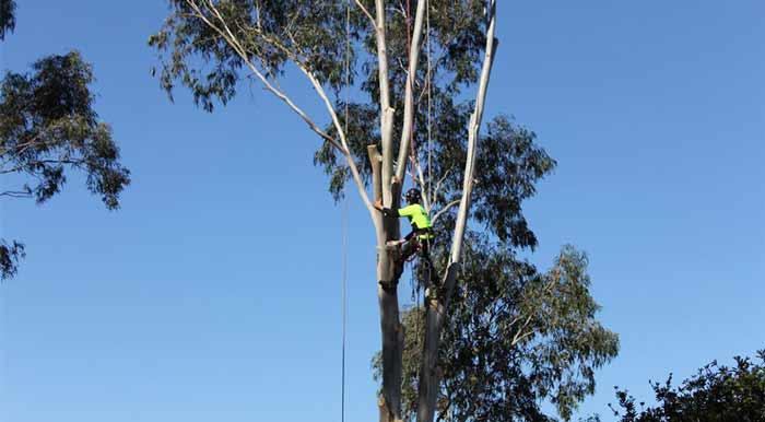 tree-arborist-certified