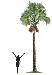 large palm tree human size comparison