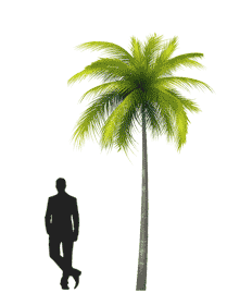 medium-palm-tree-human-comparison