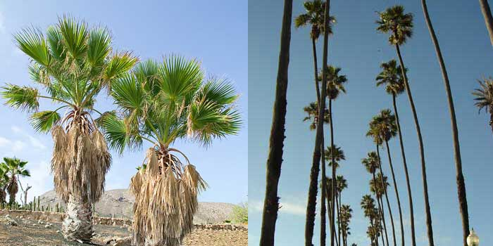 phoenix-palm-canarey-island-date-palm-large-and-small-comparison