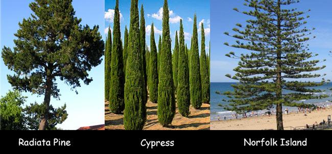 radiata-pine.cypress.norfolk-island-pine-infographic