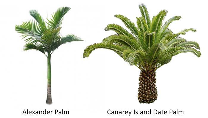 alexander-palm-vs-Canarey-Isnalnd-Date-alm
