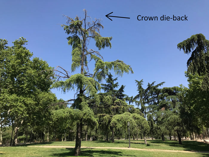 crown-die-back-on-mature-pine-tree