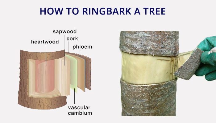 how-to-ringbark-a-tree-infographic