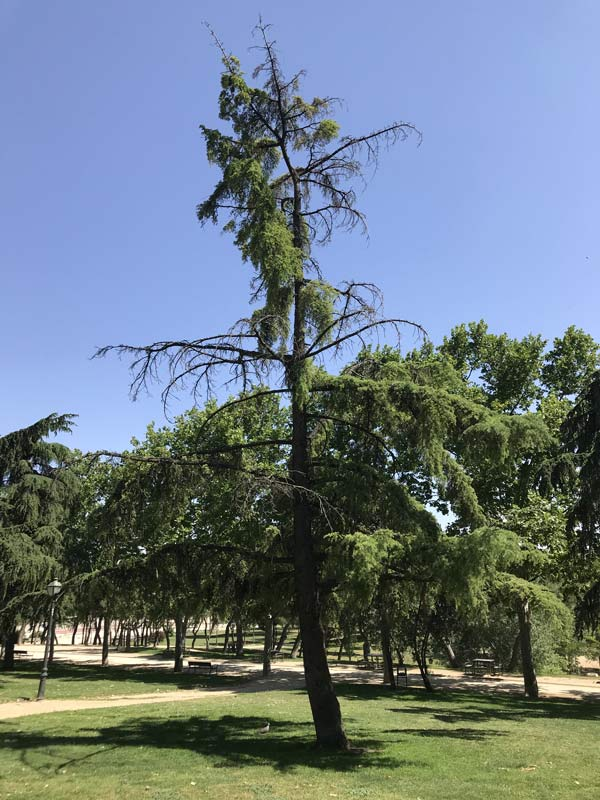 pine-tree-sick-and-dying-with-deadwood