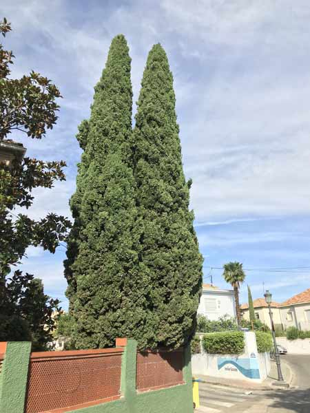 Conifer-tree-removal-cost-example