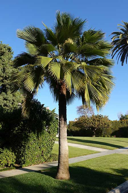 Guadalupe-Palm