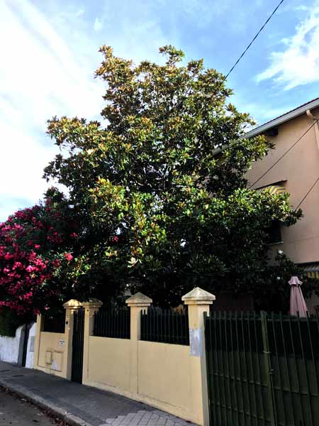 Magnolia-tree-removal-cost-example