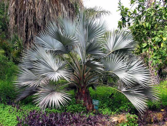 Mexican-Blue-Fan-Palm