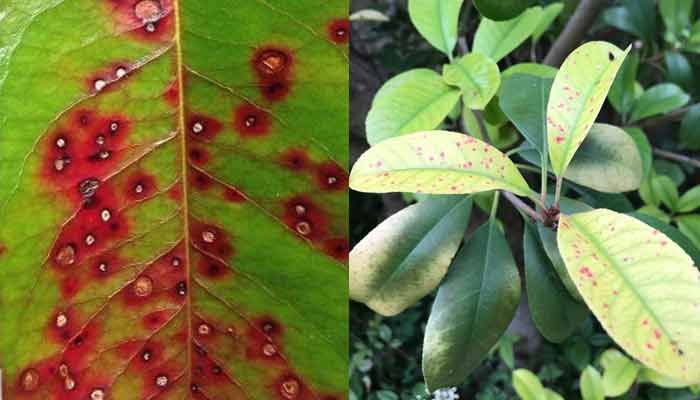 Photinia-Leaf-Spot-close-up-plus-plant