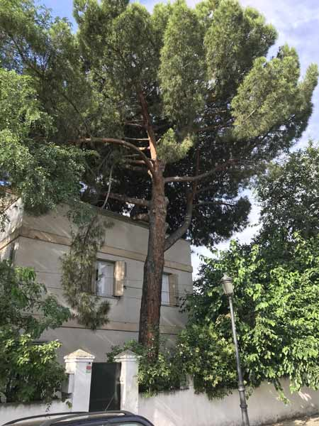 Radiata-pine-tree-removal-cost-example