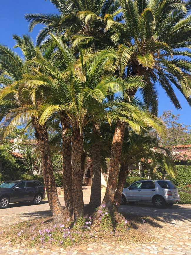 Senegal-Date-Palm-example
