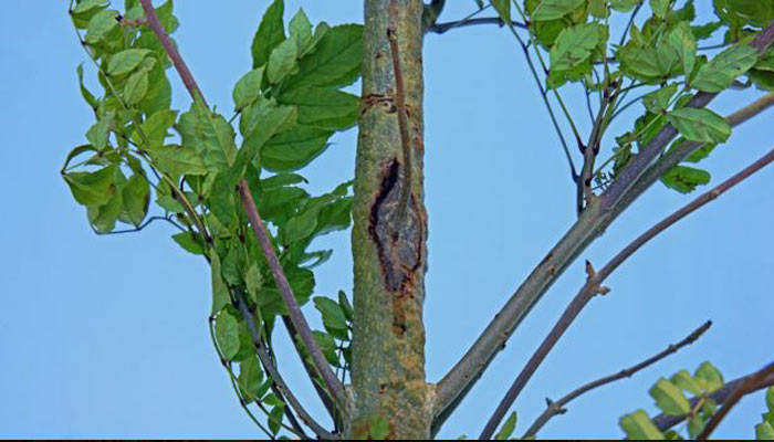 ash-dieback-trunk-and-branch