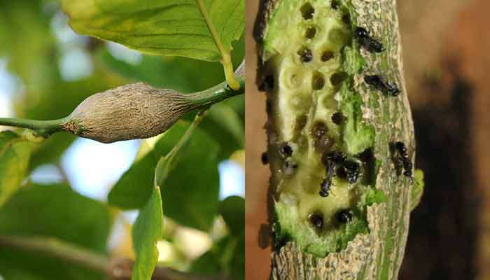 citrus-gall-wasp-outside-and-inside