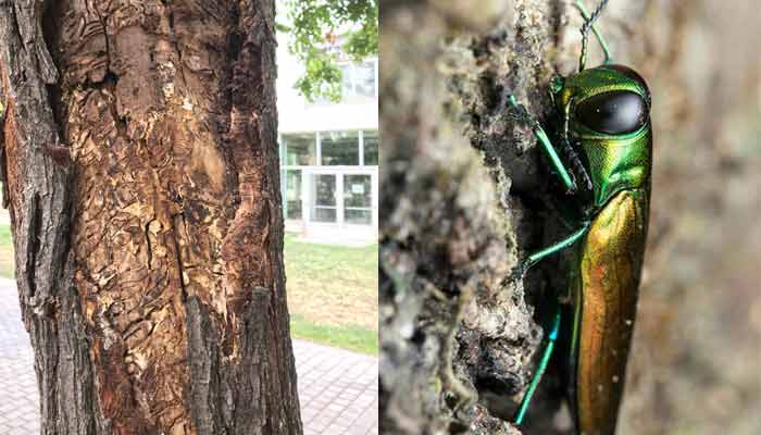 emerald-ash-borerbug-and-damage