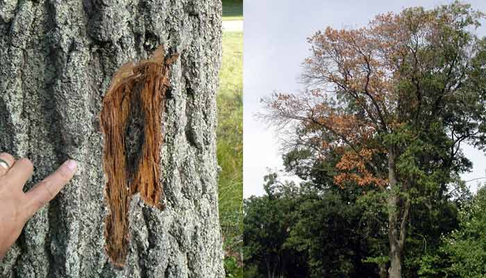 oak-wilt-bark-and-tree-dieback