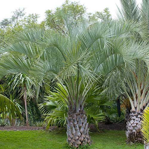 pindo-or-jelly-palm