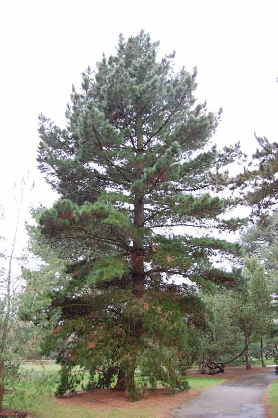 radiata-pine-tree-removal-cost-example-1