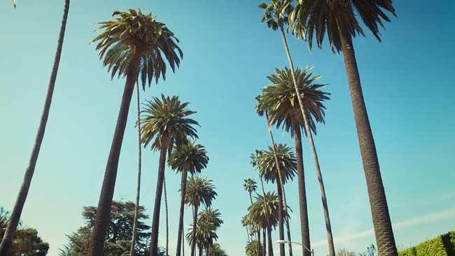 tall-palm-trees-in-santa-monica
