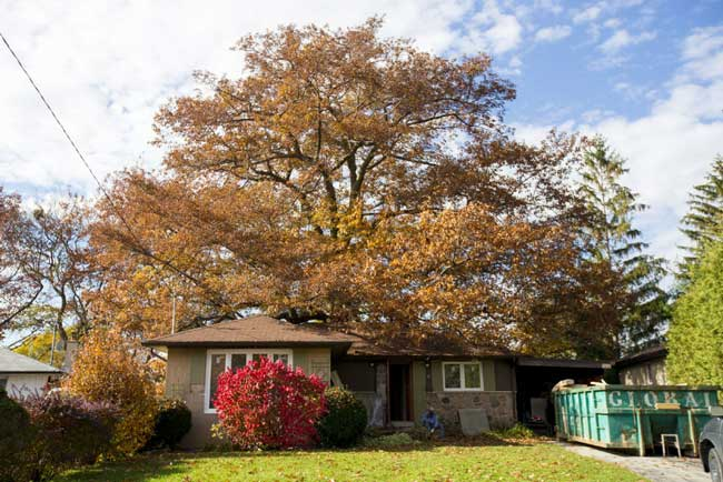 x-large-oak-tree-removal-cost-example-5