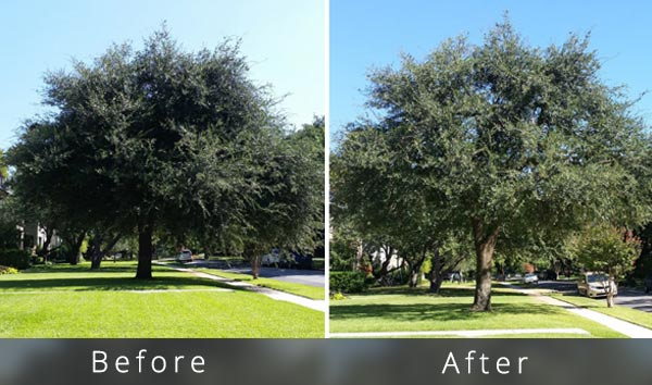 Ash-tree-trimming-cost-example---canopy-thin