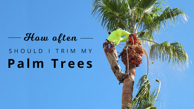 How-often-should-palm-tree-be-trimmed