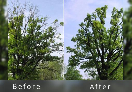 Oak-tree-trimming-example-canopy-reduction