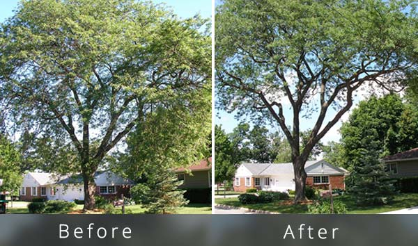 Tree-trimming-example---American-beech-tree