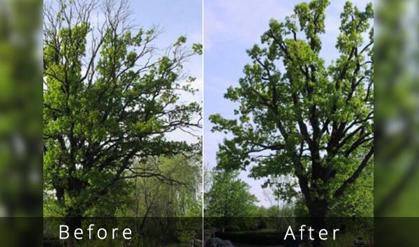 before after dead wood trimming