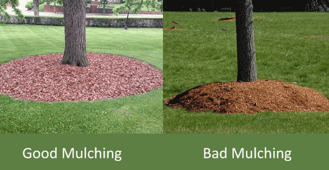 how-to-mulch-a-tree