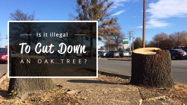 is-it-illegal-to-cut-down-an-oak-tree