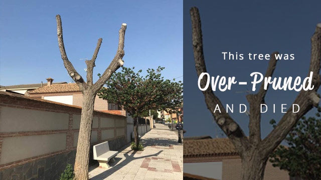 tree-dead-from-over-pruning