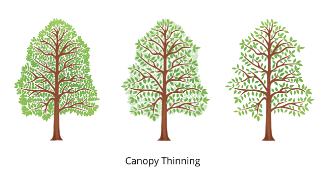 canopy-thinning-tree-trim-650x350