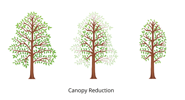 canopy-tree-reduction-tree-trim650x350