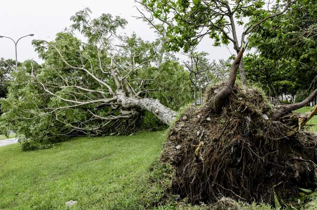 fallen-tree-in-front-yard-root-ball