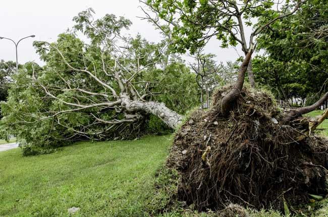 fallen tree in front yard root ball