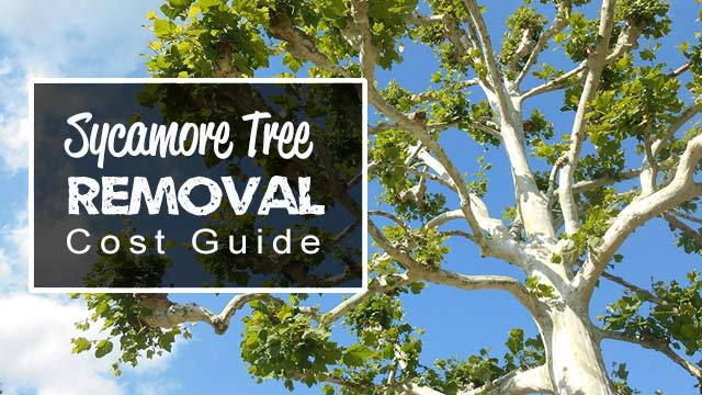 sycamore-tree-removal-cost-guide