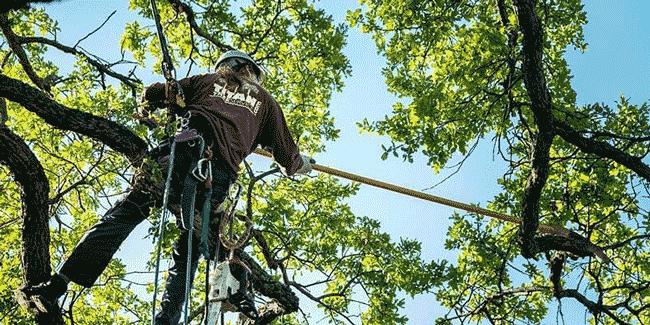 oak tree being trimmed by arborist pole saw