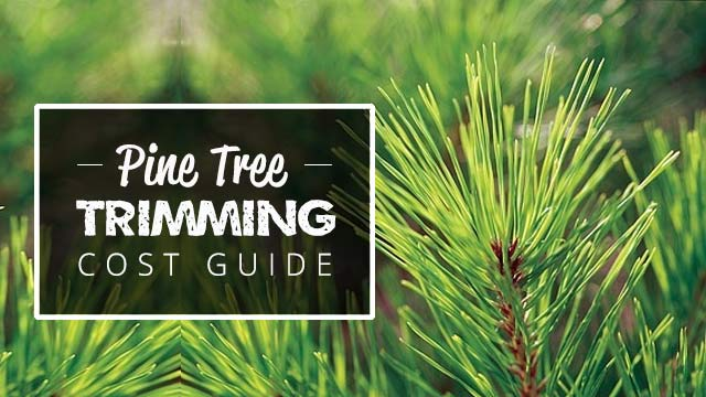 pine-tree-trimming-cost-guide-image