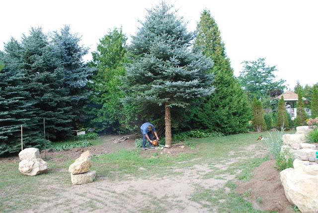 limbing-up-pine-tree