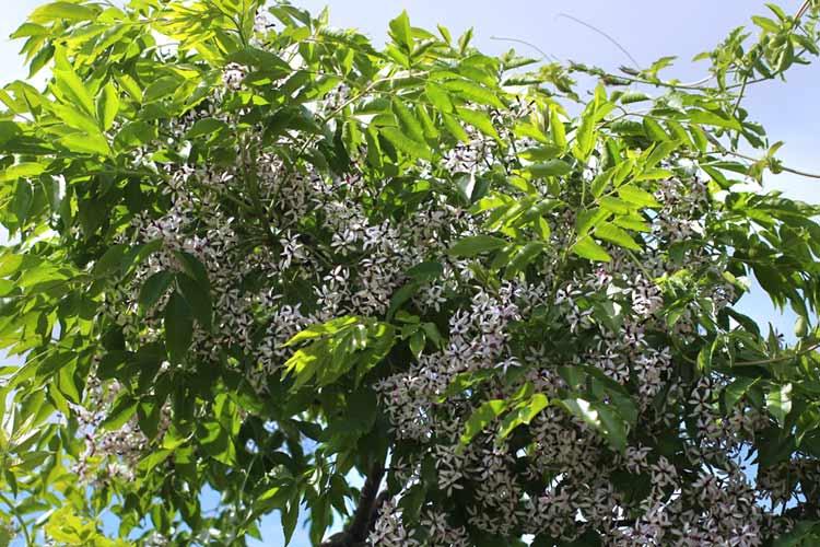 Melina tree