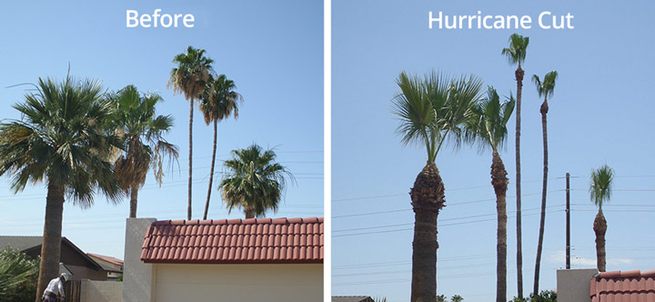 before-after-hurricane-palm-cut