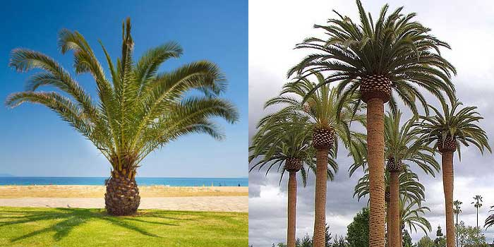 mexican-fan-palm-large-and-small-comparison