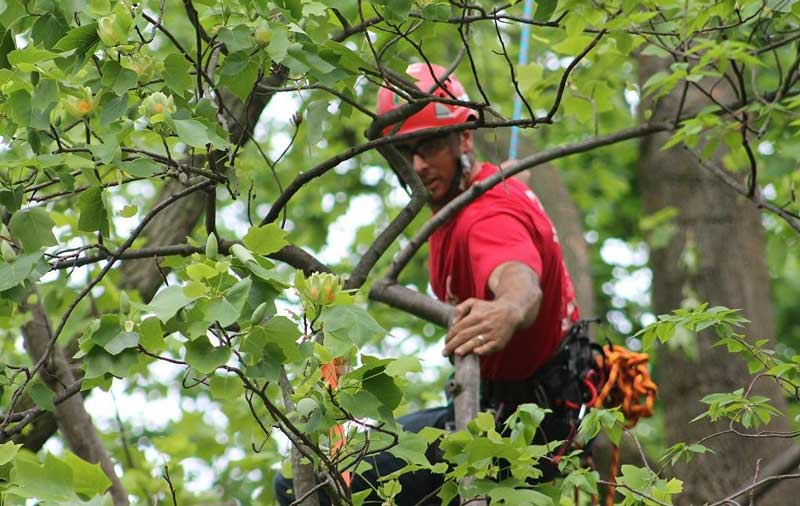 arborist-trimming-branches