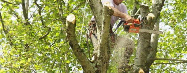 arborist-trimming-oak-tree