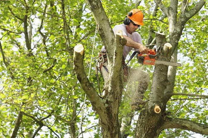 arborist trimming oak tree