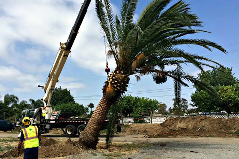 palm-tree-sold-and-relocated
