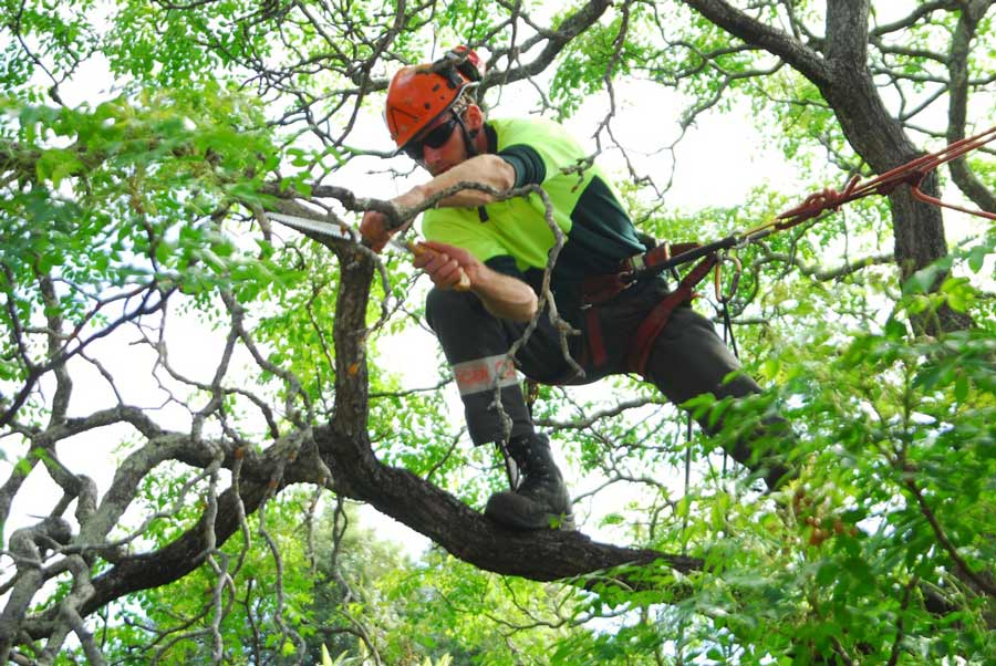 pruning-of-deadwood-from-a-tree