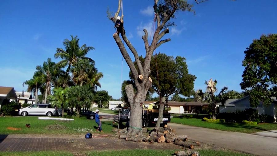 removing-of-large-oak-tree-in-front-yad-of-property