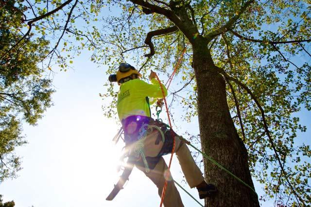 tree-climber-removing-a-tree